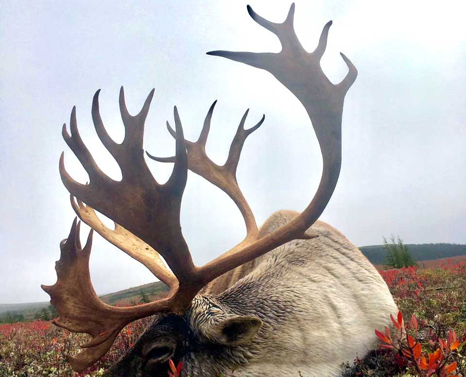 Newfoundland Woodland Caribou Hunts Woodland Caribou hunting Outfitter Red Indian Lake Outfitting NL